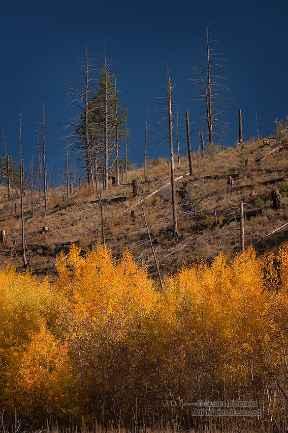 Recovery: Young Aspens after Fire, Colorado