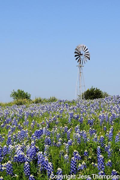 Bluebonnet, Burnet, Texas