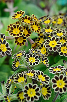 Polyanthus 'Gold Laced' (Barnhaven Gold Laced polyanthus)