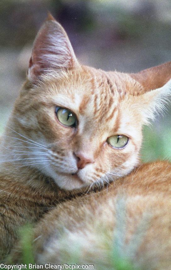 Ernie, a red mackeral tabby cat, Daytona Beach, FL. (Photo by Brian Cleary/www.bcpix.com)