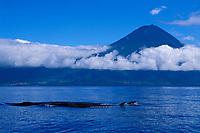 sei whales, Balaenoptera borealis, in front of Pico Mountain, Azores Islands, North Atlantic Ocean