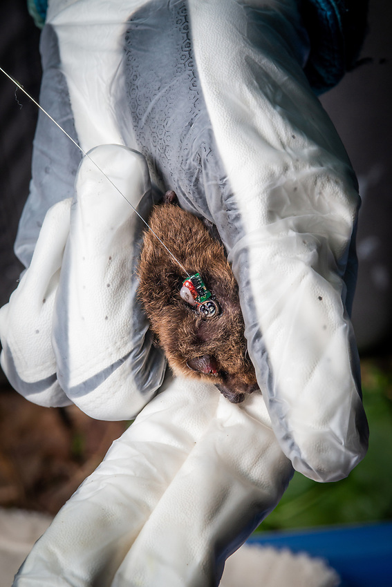 Jesika Reimer, Assistant Zoologist at UAA's Alaska Center for Conservation Science (ACCS), shows the radio tag she affixed to a Little Brown Bat (Myotis lucifugus) on Joint Base Elmendorf-Richardson (JBER) near Anchorage, Alaska. Researchers from ACCS and the Applied Environmental Research Center are working with DOD wildlife managers to determine where JBER bats roost and assess their potential vulnerability to white-nose syndrome. Photo by James R. Evans