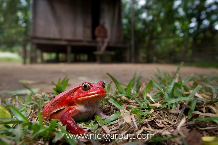 Adult tomato frog (Dyscophus antongilii) in front of village hut. Masoala National Park, north eastern Madagascar, November.