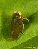 "1109-0807  Agallia Leafhopper, Agallia spp. ""Virginia"" © David Kuhn/Dwight Kuhn Photography."
