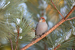 Immature male pine grosbeak in northern Wisconsin.