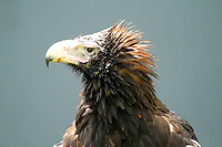 Wedge-tailed Eagle at O'Reilly's Rainforest Lodge in Lamington National Park, Queensland, Australia