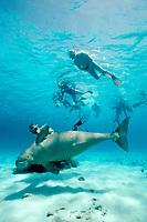 snorkelers and dugong, Dugong dugon, Vanuatu (S. Pacific Ocean)
