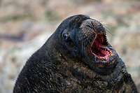 New Zealand Sea Lion (Phocarctos hookeri) adult male resting on Enderby Island in the Aukland Islands, New Zealand.