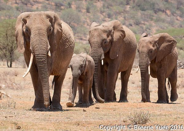 Elephant Train  Kenya 2015