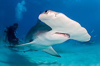 great hammerhead shark, Sphyrna mokarran, endangered species, and scuba divers, Bimini, Bahamas, Caribbean Sea, Atlantic Ocean