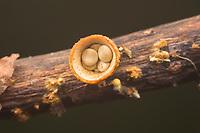 """White Bird's Nest Fungus (Crucibulum laeve) fruiting bodies with egg-shaped peridioles inside the """"nest""""."""