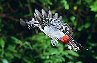 Buntspecht im Flug, Flugbild, Bunt-Specht, Specht, Dendrocopos major, Picoides major, great spotted woodpecker