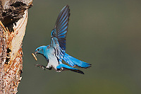 Mountain Bluebird (Sialia currucoides), male landing at nesting cavity, Rocky Mountain National Park, Colorado, USA