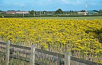 Ragwort growing near Chester, Cheshire.