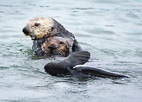 The male sea otter is pulling the young female sea otter, Enhydra lutris nereis, away from the central part of the sea otter raft to the outside prior to mating activities @ Moss Landing in the Monterey Bay National Marine Sanctuary.