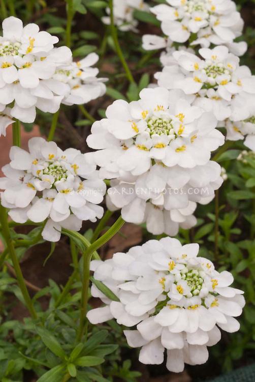 Closeup of Candytuft flowers in spring, Iberis sempervirens 'Appen Etz'