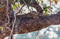 africa, Zambia, South Luangwa National Park, leopard rest on the branch of the tree after a hunting session