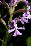 Small Purple Fringed Orchid, Habenaria psycodes