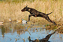 00901-00215 Pudelpointer is leaping past decoys enroute to retrieve bird.  Hunt, action, waterfowl.