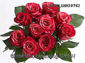 Alfredo, FLOWERS, BLUMEN, FLORES, photos+++++,BRTOLMN18761,#f#, EVERYDAY ,rose,roses