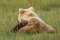 A young bear cub nestles close to its mother during nap time in a meadow, Alaska.