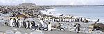 Beach gathering of adult king penguins (Aptenodytes patagonicus), Antarctic fur seals (Arctocephalus gazella) and Southern elephant seals (Mirounga leonina). Salisbury Plain, South Georgia, South Atlantic.