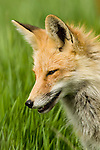 Portrait of a red fox in Wyoming.