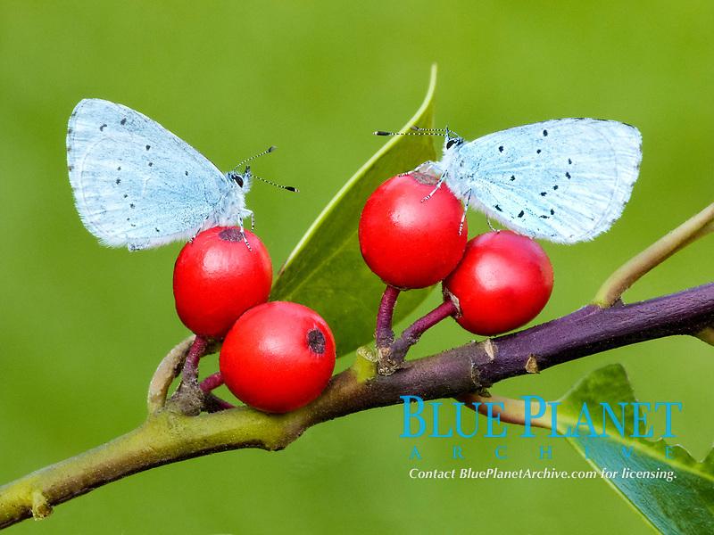Holly Blue (Celastrina argiolus), two adults, resting on European Holly (Ilex aquifolium), berries, Leicestershire, England, United Kingdom, Europe