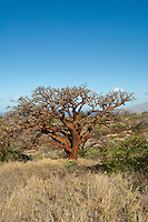 Sunlit wiliwili tree on Maui.