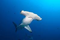 Scalloped hammerhead shark, Darwin Island, Galapagos, Ecuador, Sphyrna lewini, Galapagos, Ecuador (E. Pacific Ocean)
