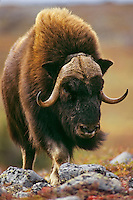 Muskox bull (Ovibos moschatus) in Canadian arctic.  Fall