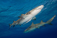 Lemon shark with remoras. Negaprion brevirostris.