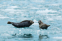 Harbor Seals drying out on an ice floe, Inside Passage, Alaska.