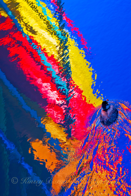 """""""SAILING SOLO""""<br /> <br /> A lone little duck paddles in the reflections of colorful sea kayaks leaving a psychedelic wake at Morro Bay Harbor."""