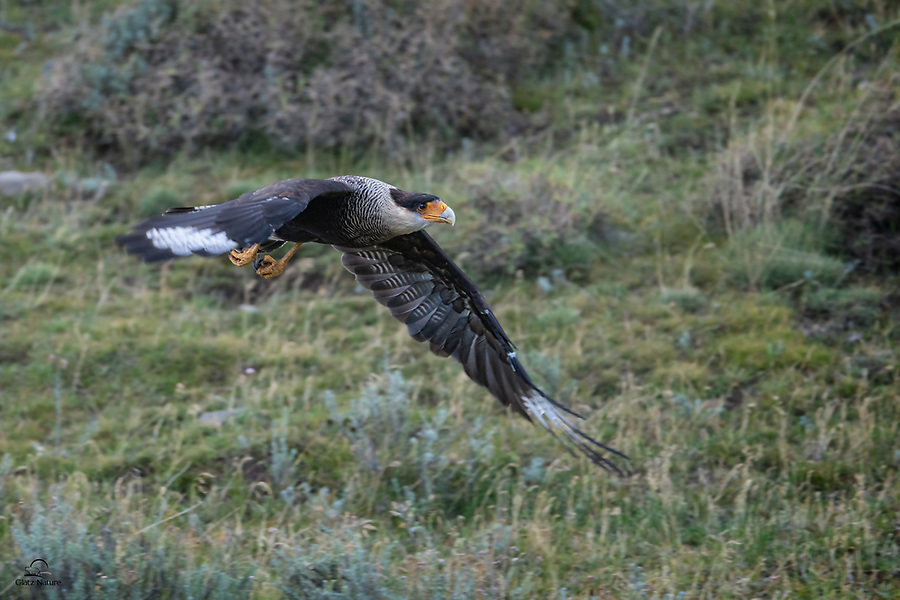 Southern Crested Caracara (aka Southern Caracara or Carancho) (Caracara plancus) takes off in search of food. A member of the Falconidae family, it can hunt on its own but seems to prefer scavenging. These birds are plentiful in Patagonia.