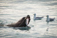 Steller Sea Lions (Eumetopias jubatus) gather at the mouth of a small stream on Alaska's Prince William Sound to feed on schools of Pink Salmon. Photo by James R. Evans.