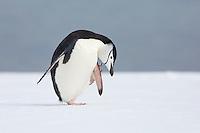 Antarctica - South Shetland