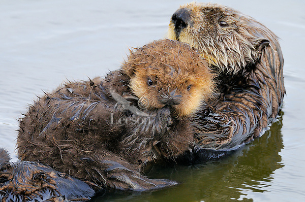 Sea Otter (Enhydra lutris) mother carrying young (about three weeks old) pup on her stomach while she rests.  .CA Coast.