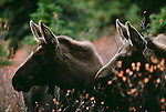 Moose calves, Alaska