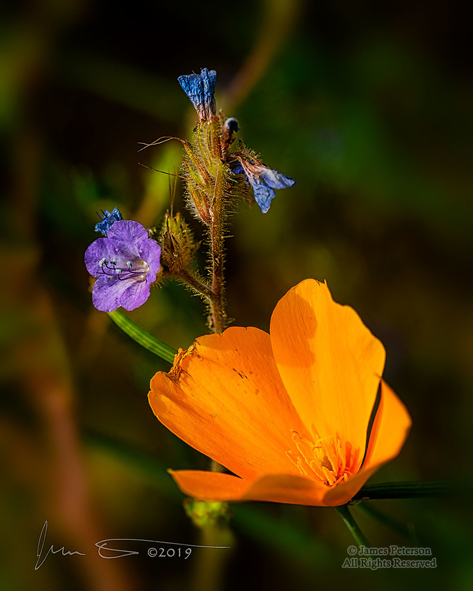 Poppy with Blue Phacelia, Sonoran Desert, Arizona ©2019 James D Peterson.  This springtime cluster of desert wildflowers was captured near Lake Pleasant, northwest of Phoenix.