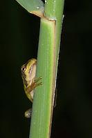 Europäischer Laubfrosch, Jungtier, junger Laub-Frosch, Frosch, Hyla arborea, European treefrog, common treefrog, Central European treefrog