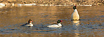 Common mergansers in northern Wisconsin