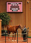 Hip #364 Pulpit - Stylish Wildcat filly at the Keeneland September Yearling Sale.  September 11, 2012.