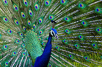 A strutting Peacock displays his elaborately colored feathers. This photo taken at the Audobon Nature Park on Oahu's north shore.