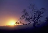 Sunset through fog and old tree
