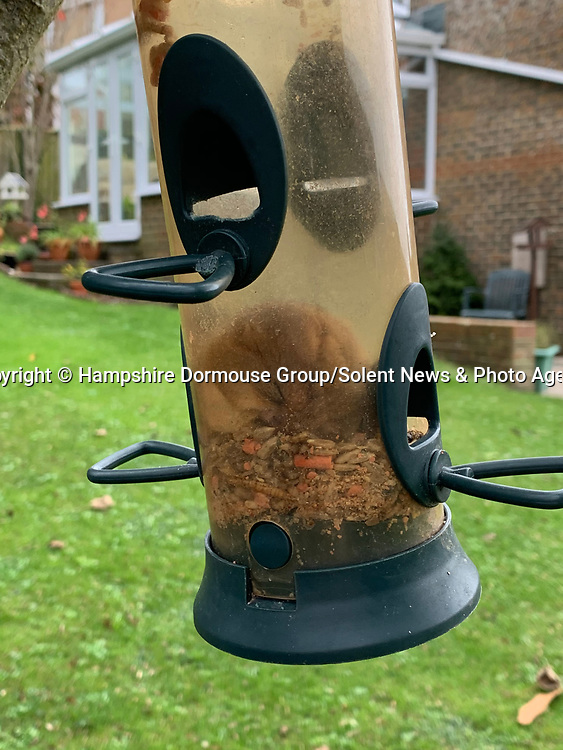 """A hungry dormouse thought it had hit the jackpot after managing to get into a bird feeder - before it dozed off and got stuck inside.  The chubby creature had crawled into the hanging feeder to fatten up before it went into hibernation.<br /> <br /> The Hampshire Dormouse Group advised the Isle of Wight resident who spotted the adorable nocturnal animal to ease it out and release it into a hedgerow.  Catherine Hadler, a member of the group, and National Trust Ranger said: """"This time of year they are normally fattening up for hibernation.   SEE OUR COPY FOR DETAILS.<br /> <br /> Please byline: Hampshire Dormouse Group/Solent News<br /> <br /> © Hampshire Dormouse Group/Solent News & Photo Agency<br /> UK +44 (0) 2380 458800"""