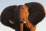 Amazing views of elephants from the river boats, Chobe, Botswana.