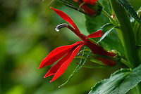 Close up of Cardinal Flower (Lobelia cardinalis). Common name believed to have come from the bright red robes and caps worn by Roman Catholic Cardinals. Wildflower is native to North America. A favorite of hummingbirds and many butterflies. Ohio, USA.