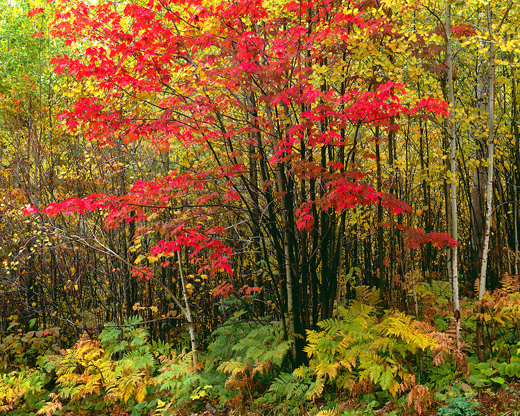 Fall color along the north shore of Lake Superior; Superior National Forest, MN