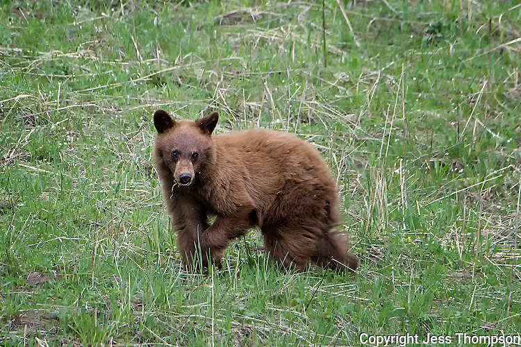 Cinnamon colored Black Bear Cub, Yellowstone